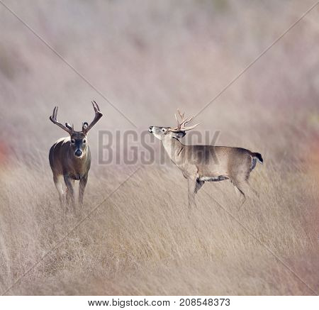 White-tailed deer in the grassland