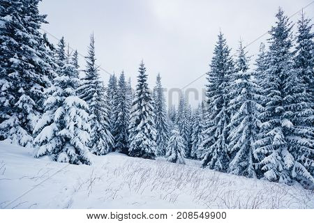 Scenic image of spruces tree. Frosty day, calm wintry scene. Location Carpathian, Ukraine, Europe. Ski resort. Great picture of wild area. Explore the beauty of earth. Blue toning. Happy New Year!