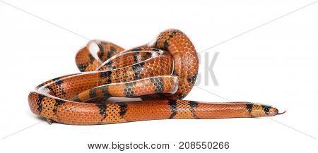 Orange and black snake rolling, isolated on white