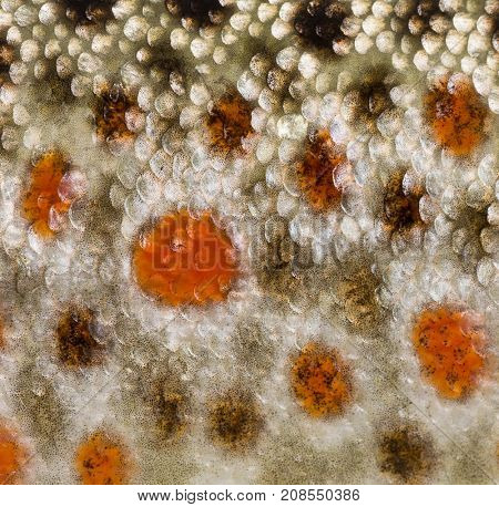 Close-up of brown trout scales