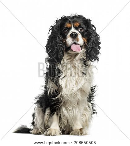 Cavalier charles sitting, isolated on white