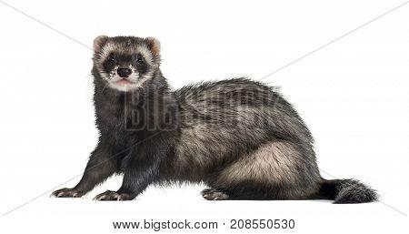 ferret sitting, isolated on white