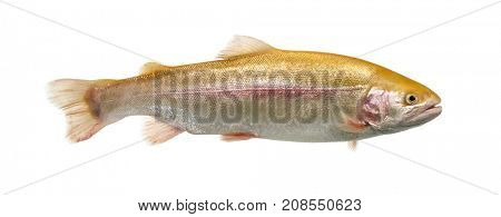 Albinos rainbow trout swimming, isolated on white