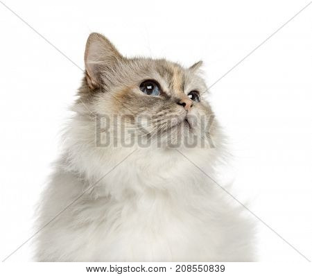 Close-up of a birman looking up, isolated on white