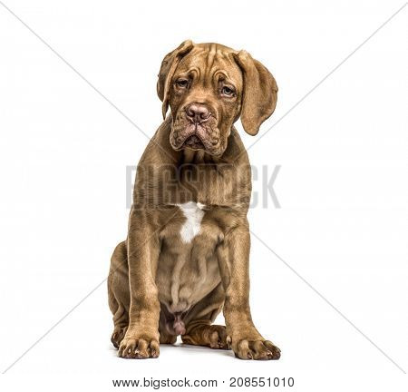 Dogue de Bordeaux sitting, isolated on white