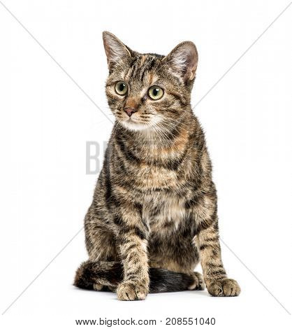 European Shorthair sitting, isolated on white