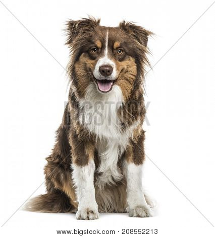 Australian Shepherd sitting and panting, isolated on white