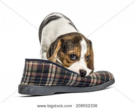 Jack russel pup playing with a slipper, isolated on white