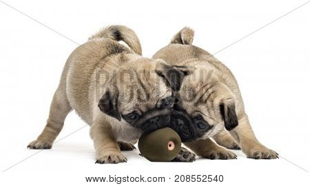Pug puppies playing with a ball, isolated on white