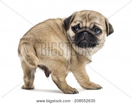 Pug puppy standing, looking backwards, isolated on white