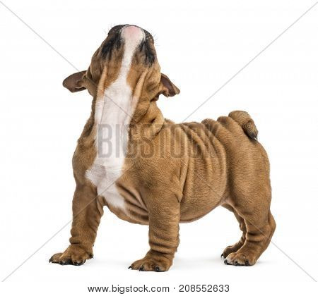 English bulldog puppy looking up, isolated on white