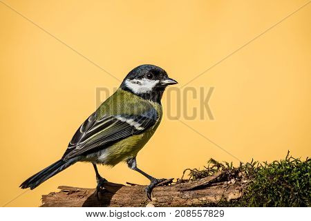 Colorful Male Great-tit Sit On Dry Twig Covered By Moss