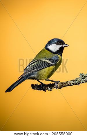 Colorful Male Great-tit Sit On Dry Twig With Moss