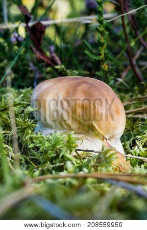 Single Fresh Cep Mushroom Grows From Moss