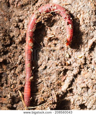 red worms in compost - bait for fishing .