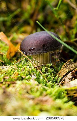 Small Russula Mushroom With Purple Hat