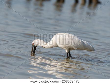 Black-faced Spoonbill in waterland