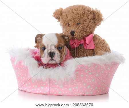 bulldog puppy tucked in bed with a teddy bear on white background