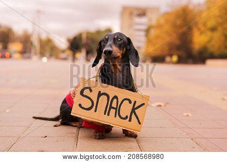 dog dachshund black and tan in a cardigan with cardboard