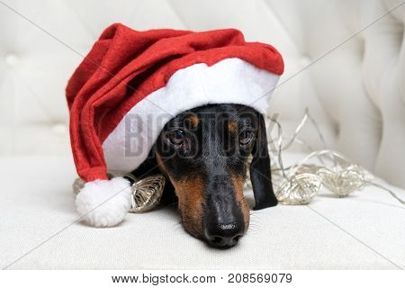 close up adorable and sad dog (puppy) dachshund black and tan wearing Santa hat and wrapped in a New Year's garland ready for Christmas in a white armchair.