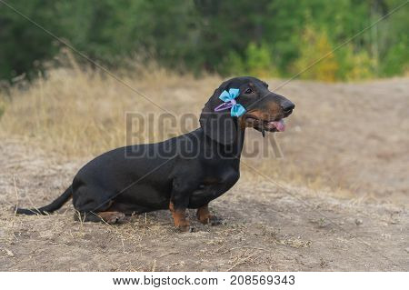 beautiful portrait of a dog (puppy) breed dachshund black tan with blue bow-knot on the ears in the autumn park