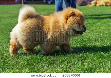 beautiful dog breed Chow Chow red color is to show the position run in the summer on the grass. Champion exhibitions. dog show