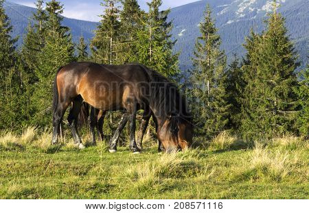Two Brown Horses Eating Grass Near The Trees In The Mountains. A