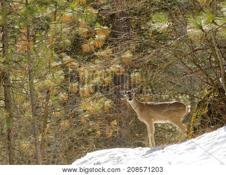 Very wary and alert Whitetzil doein the forestduring winter