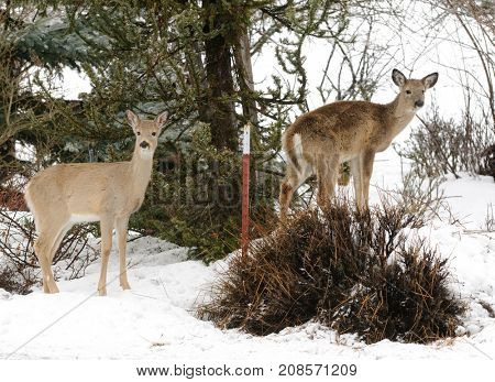Whitetail Fawns in the snow