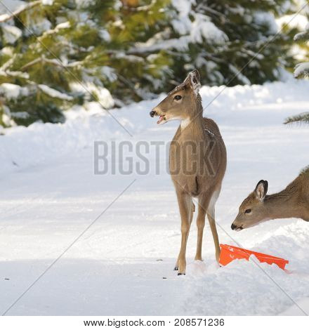 Whitetail doe and fawn in the winter getting a little help
