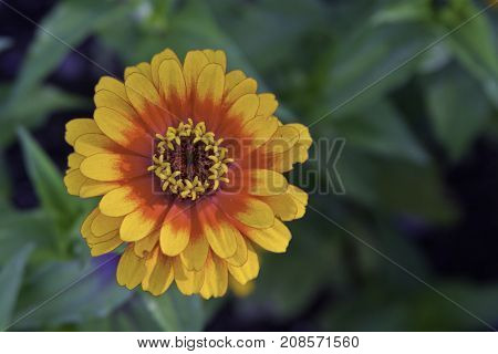 Wide close up view of a vibrant yellow/red blanket flower with center blooms near Bathurst, New Brunswick on a bright sunny day with blue skies and clouds in August.