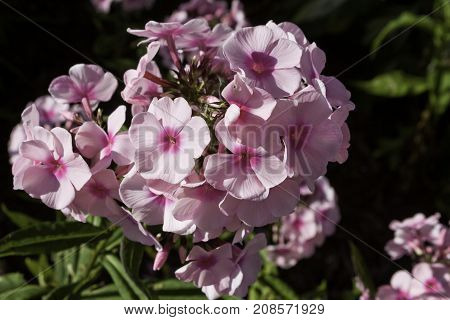 Wide view of a bunch of vibrant mauve/purple Petunia flowers near Bathurst, New Brunswick on a bright sunny day with blue skies and clouds in August.