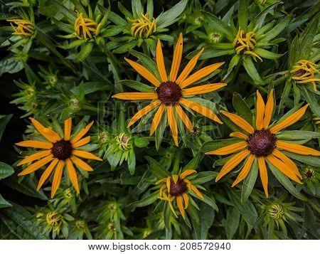 Spray of orange flowers of Sullivan's coneflower Rudbeckia fulgida