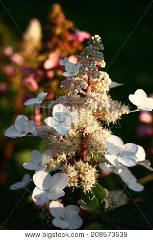 Evening illumination. White and reddening inflorescences of a hydrangea paniculata. The play of light and shades.