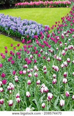 Flowerbed with tulips and hyacinths