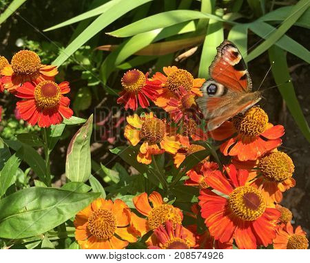 Butterfly flew to eat nectar from yellow and red gerberas on a hot summer day