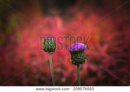A couple of thistles in closeup this side fireweeds. Red, strong background, dark frame.