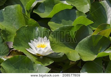 Close-up of a white water lilly and lilly pads in lake, Sofia, Bulgaria
