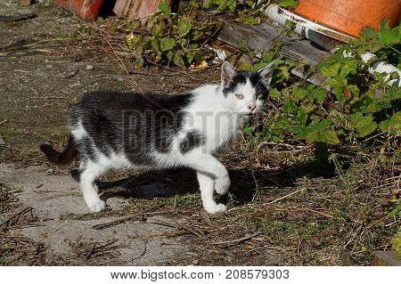 The spotted cat walks along the grass in the street and looks
