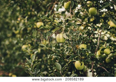 Ripe Apples in Orchard ready for harvesting intensive agriculture