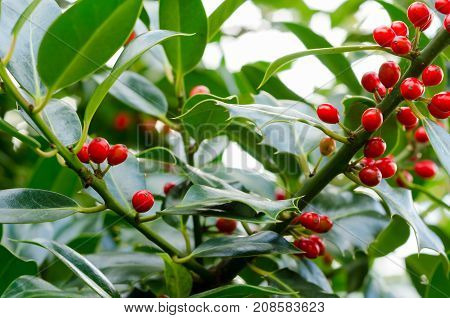 Holly Berries and Leaves on a Holly Plant (Ilex Aquifolium)