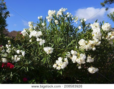Blooming oleander bushes in Torviscas Alto,Tenerife,Canary Islands,Spain.Vacation or travel concept.Selective focus.