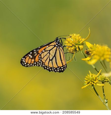A ventral view of a Monarch Butterfly (Danaus plexippus) gathering nectar from a Lance-Leafed Goldenrod plant in Frederick, Maryland, USA.