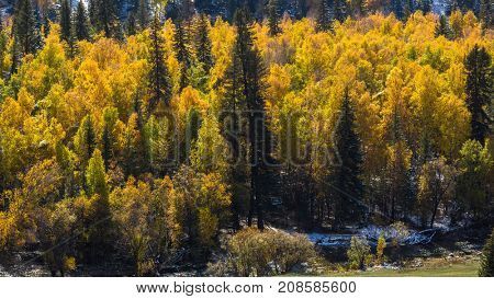 Autumn yellow forest in the Altay Mountains, Russia.