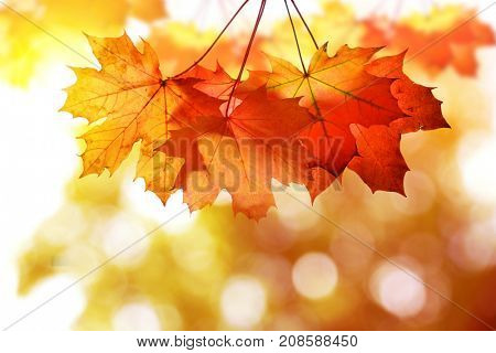Autumn leaves of maple tree on blurry natural background.