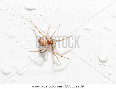 spider with water droplets on white. close-up .