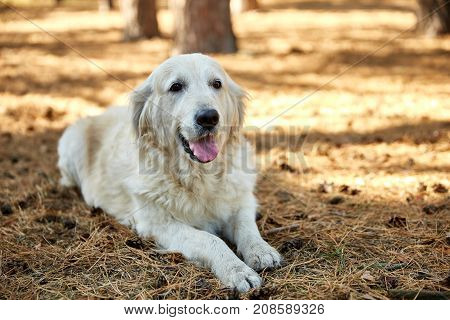 A lightly shod happy labrador dog lies on his stomach on a sunny day in the park outdoors.