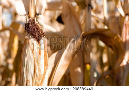 Ripe Corn Cob On A Stalk Of Dry Plants In The Field.