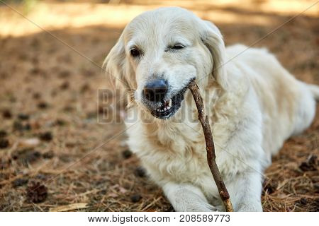 A lightly shod happy labrador dog lies on his stomach and gnaws a stick on a sunny day in the park