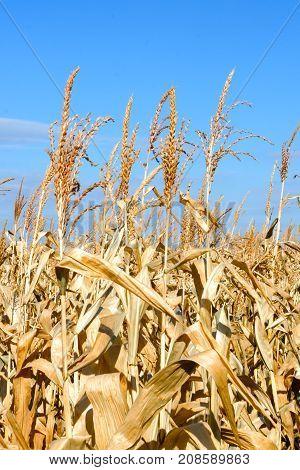 Field Corn Autumn In October Before Harvesting. Ripe Corn, Dry Corn.
